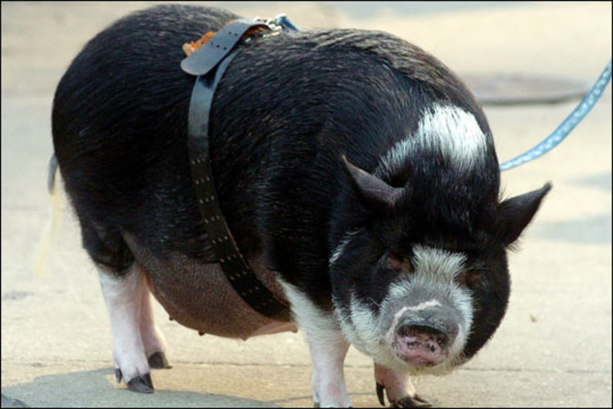 Potbellied pigs make affectionate, playful, intelligent pets!