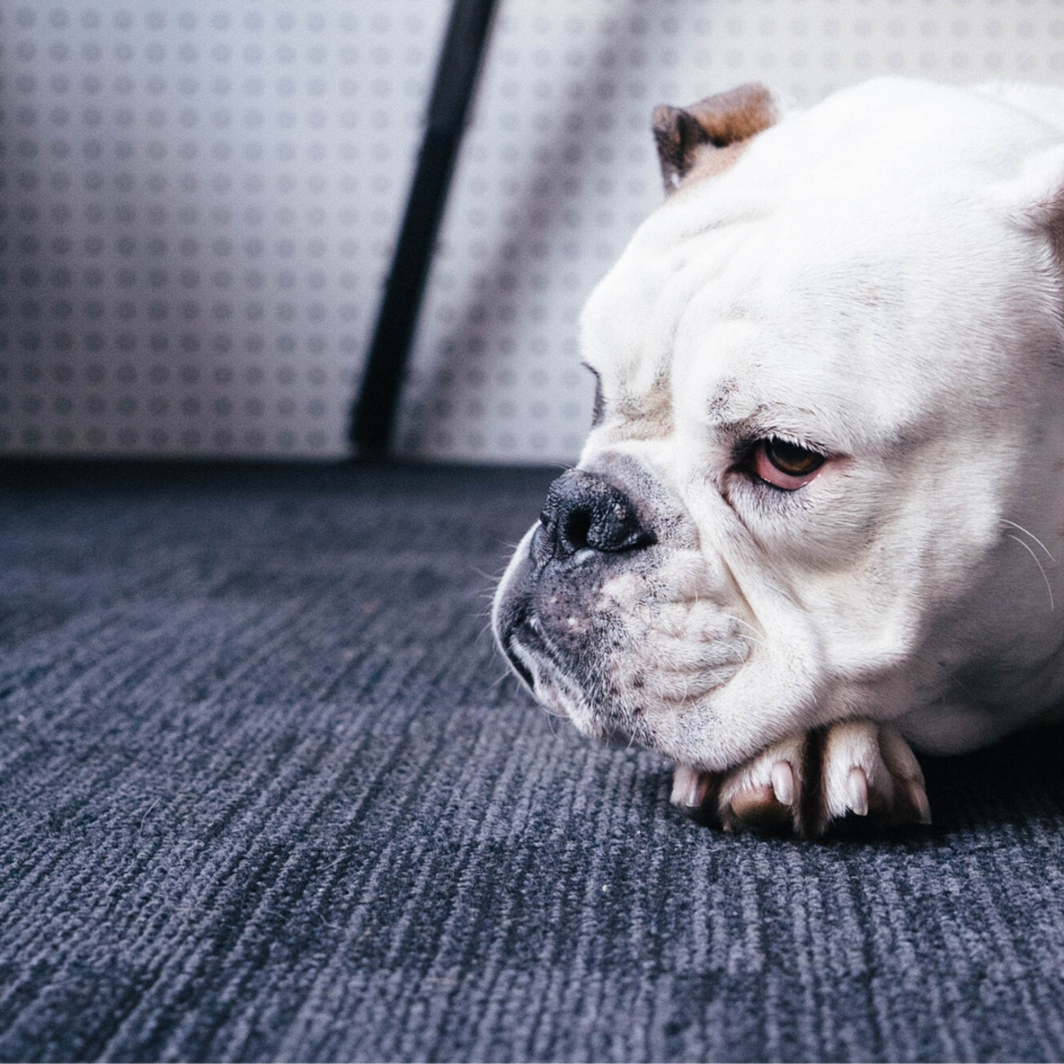 You can treat your carpet with Borax, but if you have animals, you will want to use pet-friendly products.