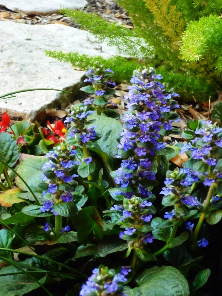 Ajuga blooming in our backyard garden.