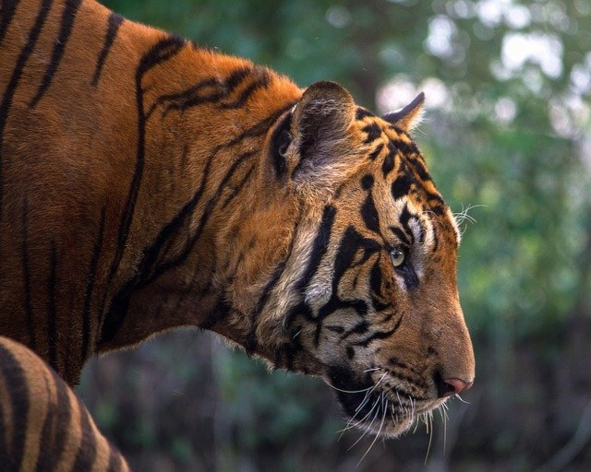 Poems on 4 Big Cats of India for Animal Lovers