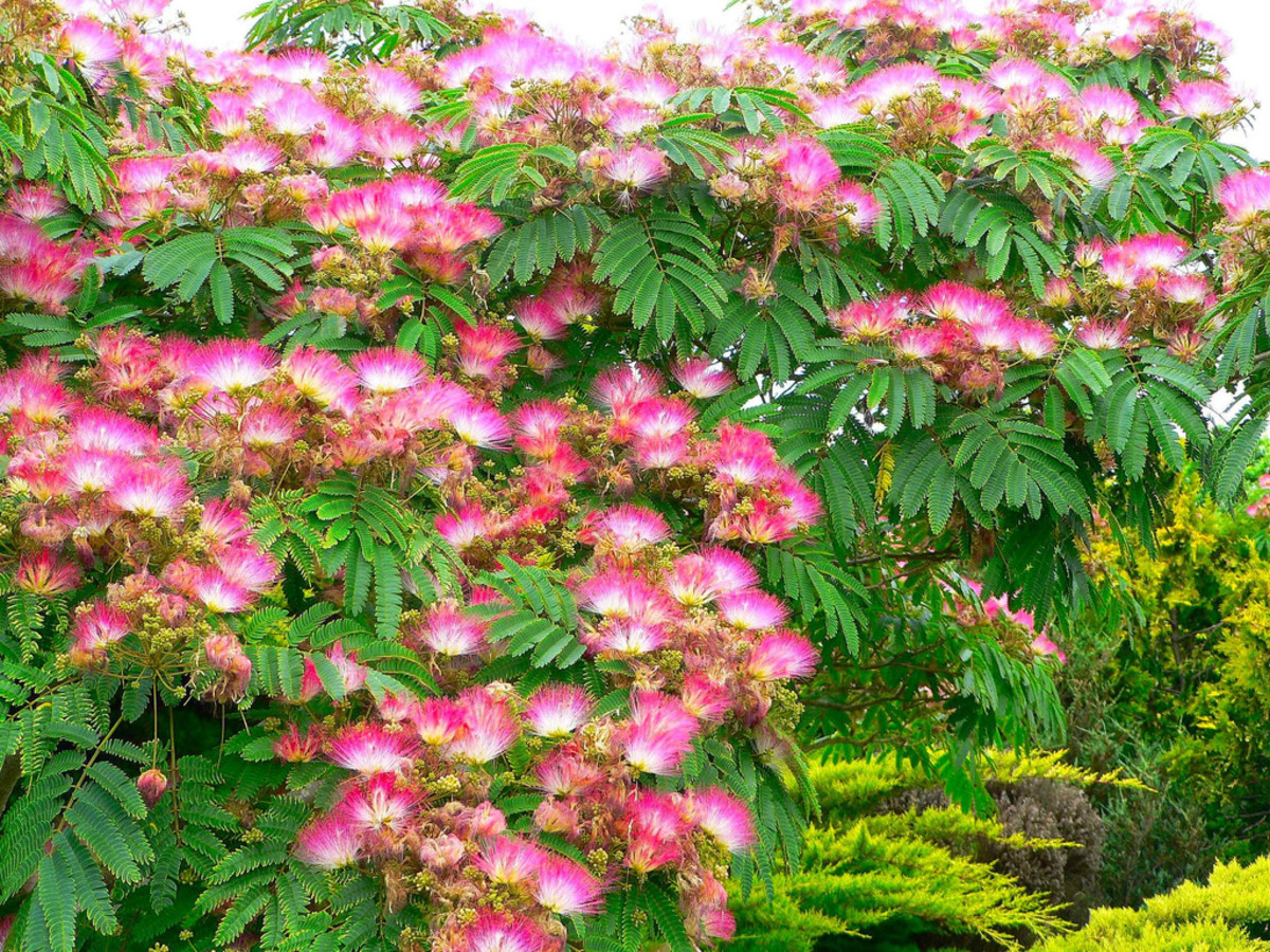 Mimosa trees in the medium size range