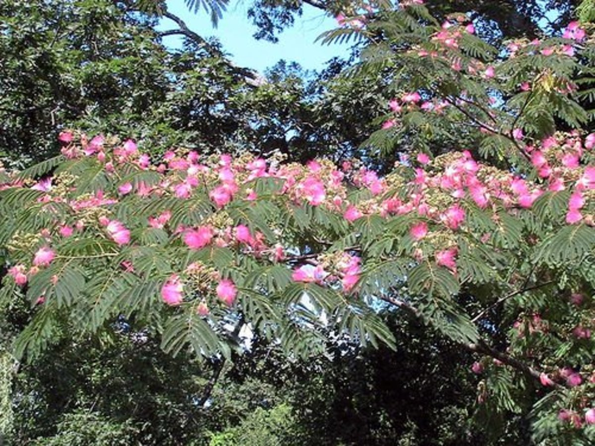 Mimosa trees in a medium size