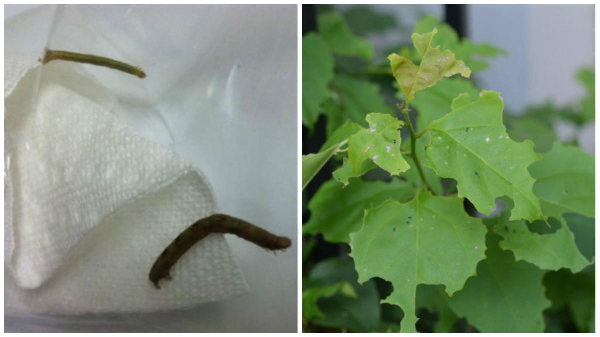 I plucked this caterpillar off of my plant. This is the guy that created all this damage to my bougainvillea.