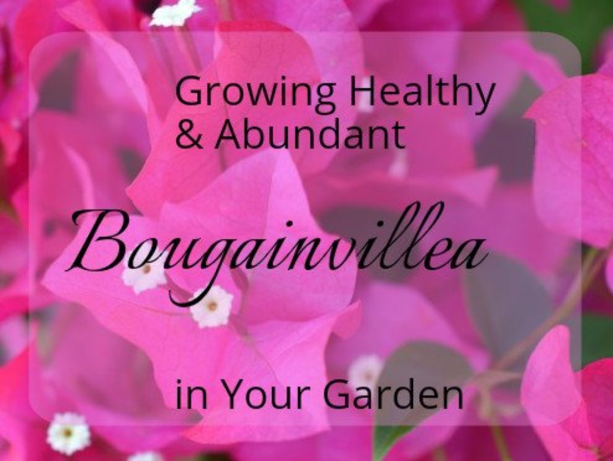 How to Grow and Care for a Beautiful Bougainvillea