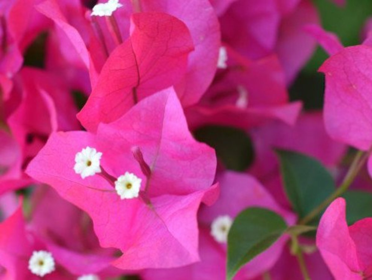 Bougainvillea bracts and flowers.