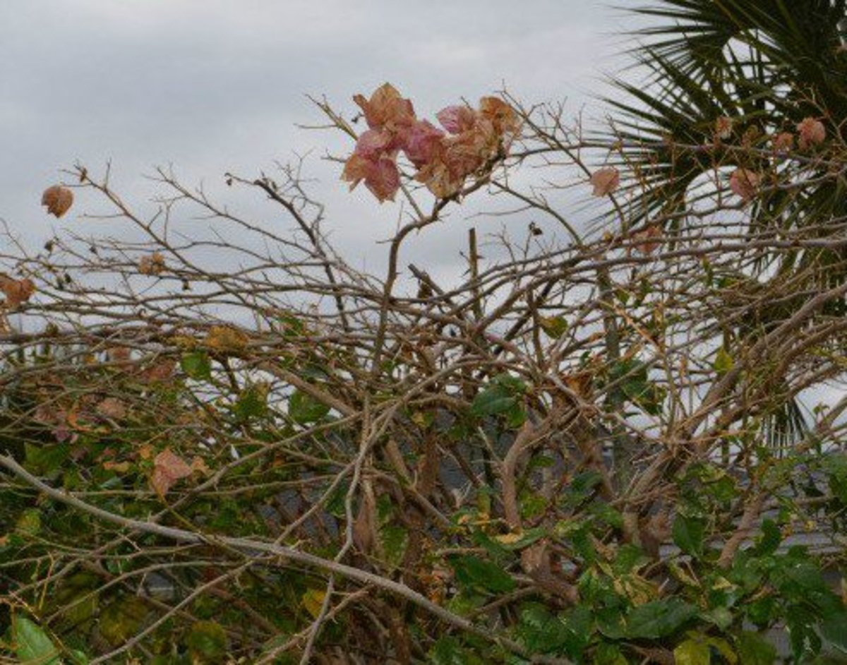 Freeze damage on my neighbor's bougainvillea. This damage can be cut away, allowing new growth to emerge.