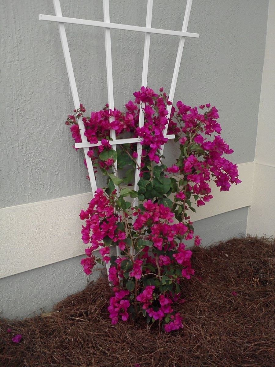 My bougainvillea when it was first planted.
