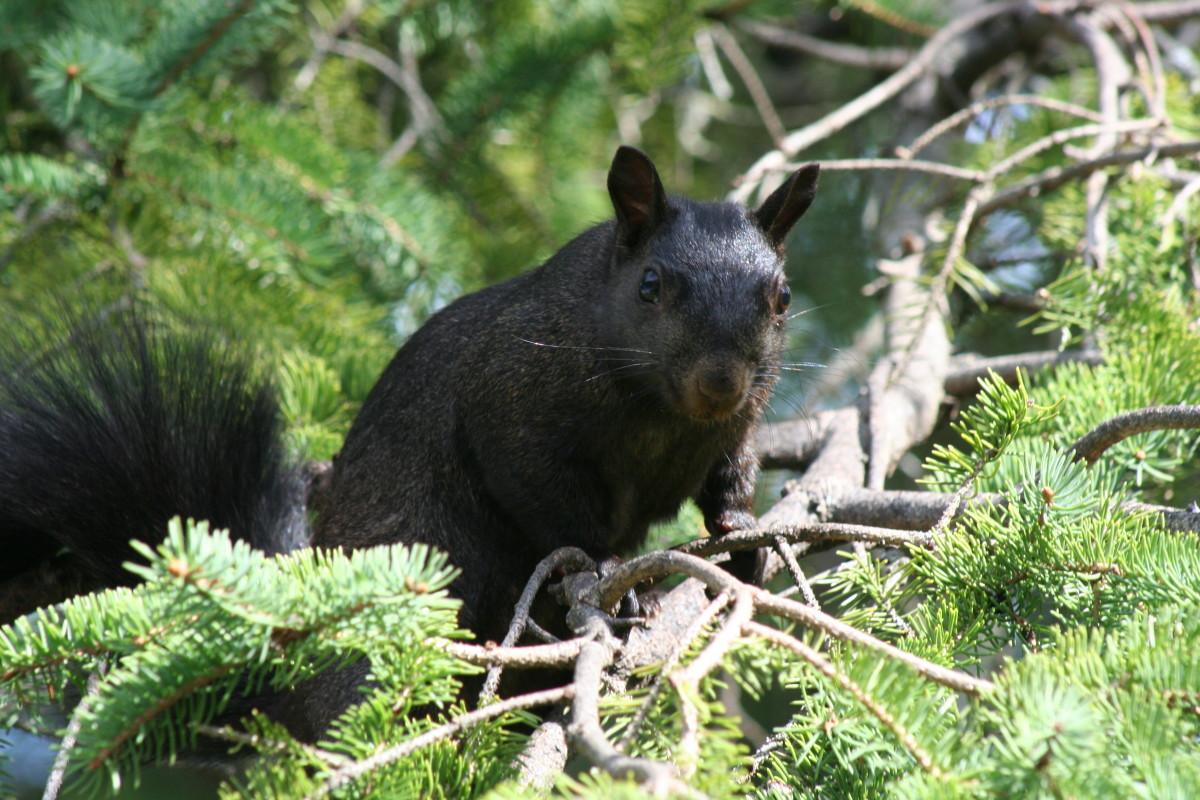 Black squirrel, Ontario