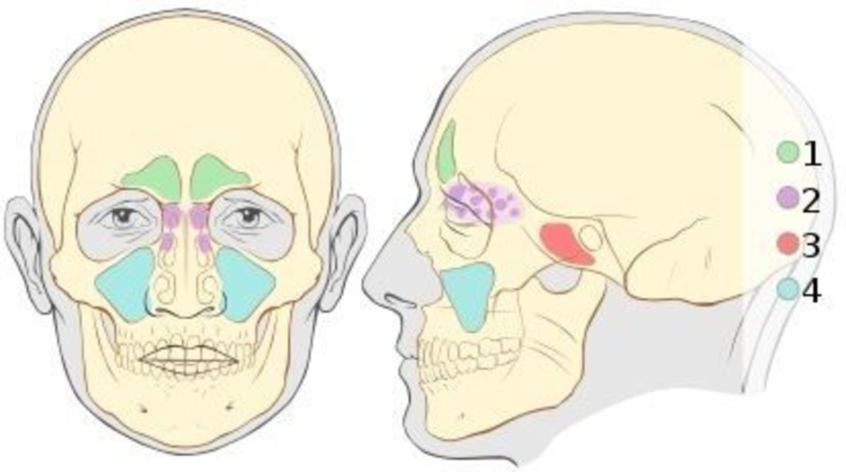 Anatomy of Sinuses
