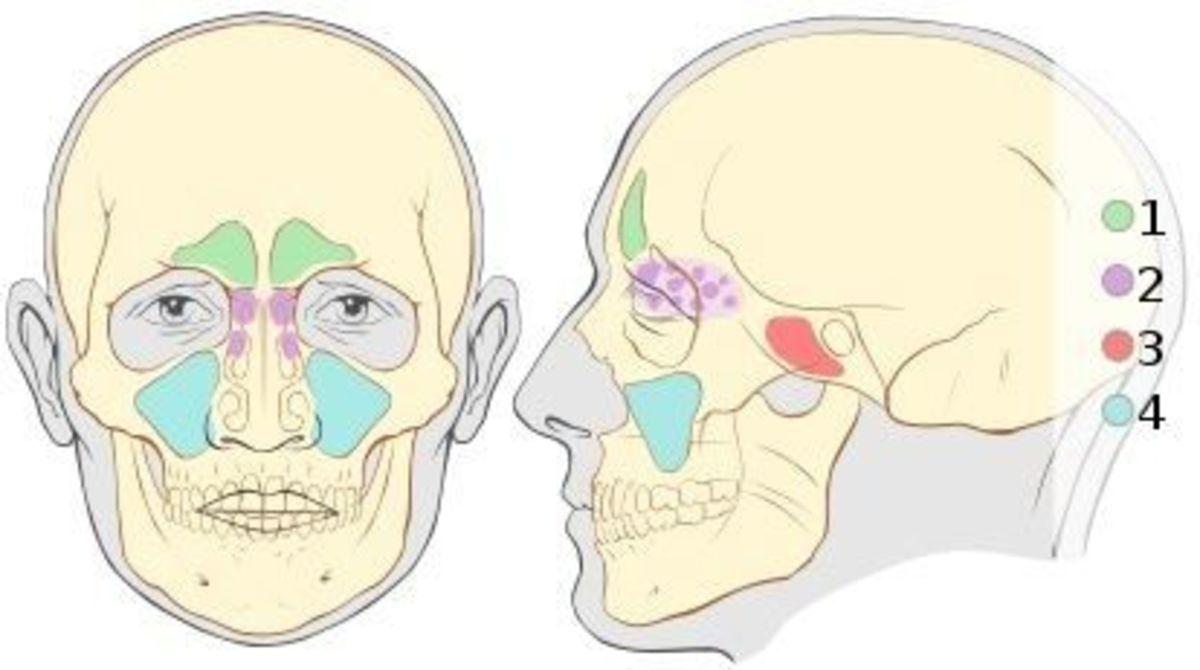 Anatomy of Sinuses