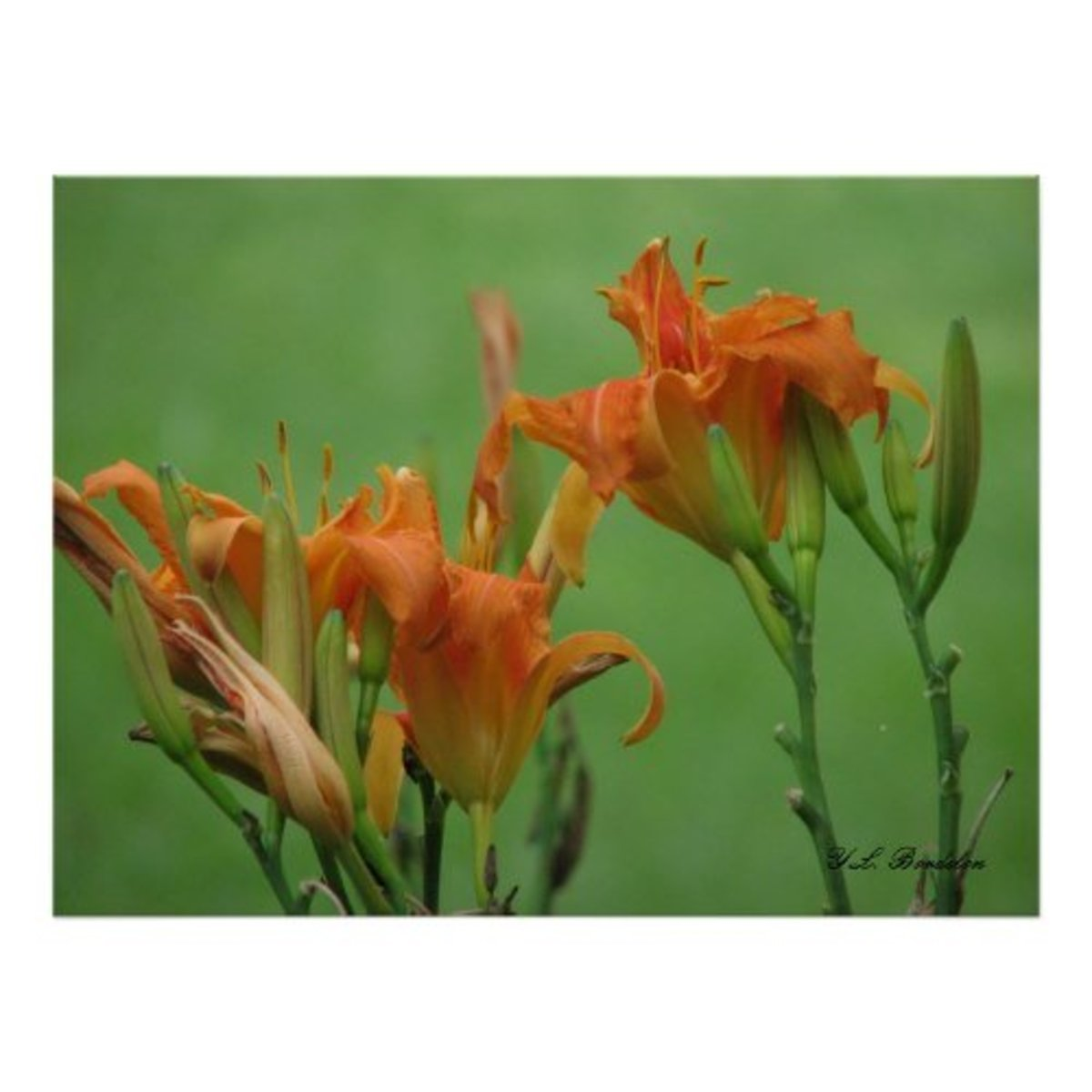 Daylily flowers are edible. The buds can be cook like green beans and the flowers stuffed, battered and fried.