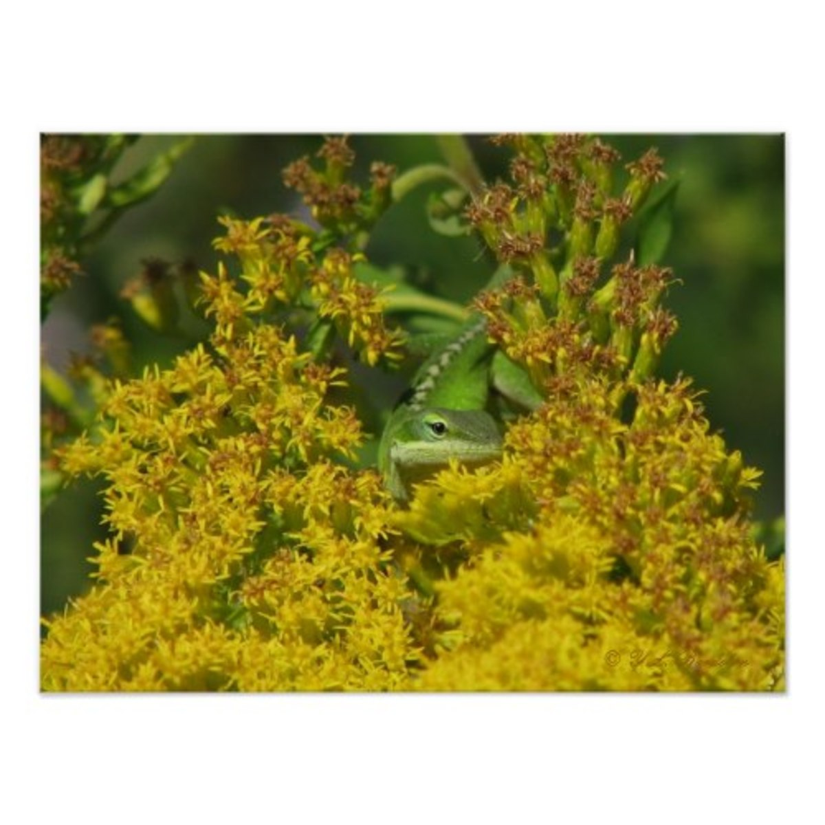 Goldenrod attracts many pollinators when it blooms in the fall. Green anole in goldenrod available on Zazzle.