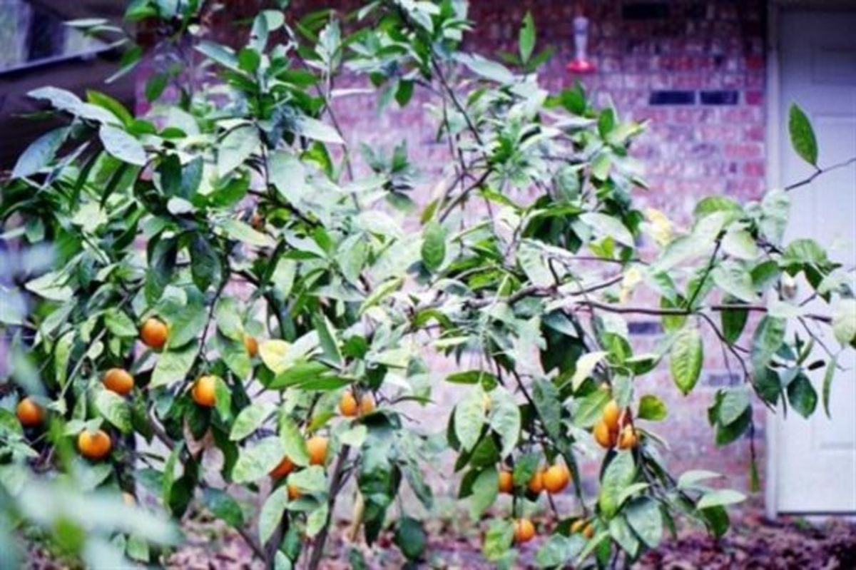 Satsuma trees bear in the fall of the year in south Louisiana. The sweet-smelling flowers attract pollinators.