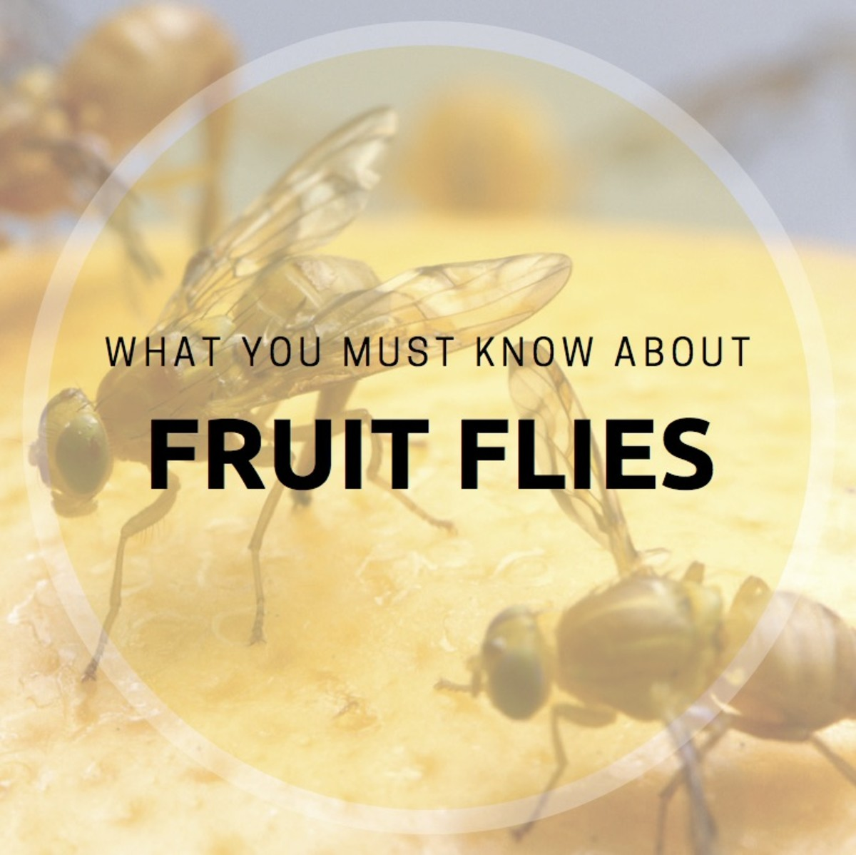 What You Must Know About Fruit Flies