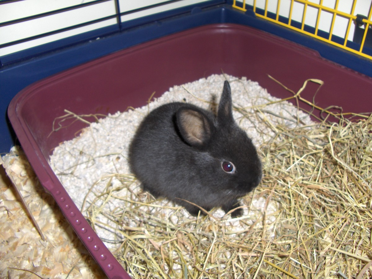 Dwarf rabbits are tiny, with comparatively big heads. And they're adorable!