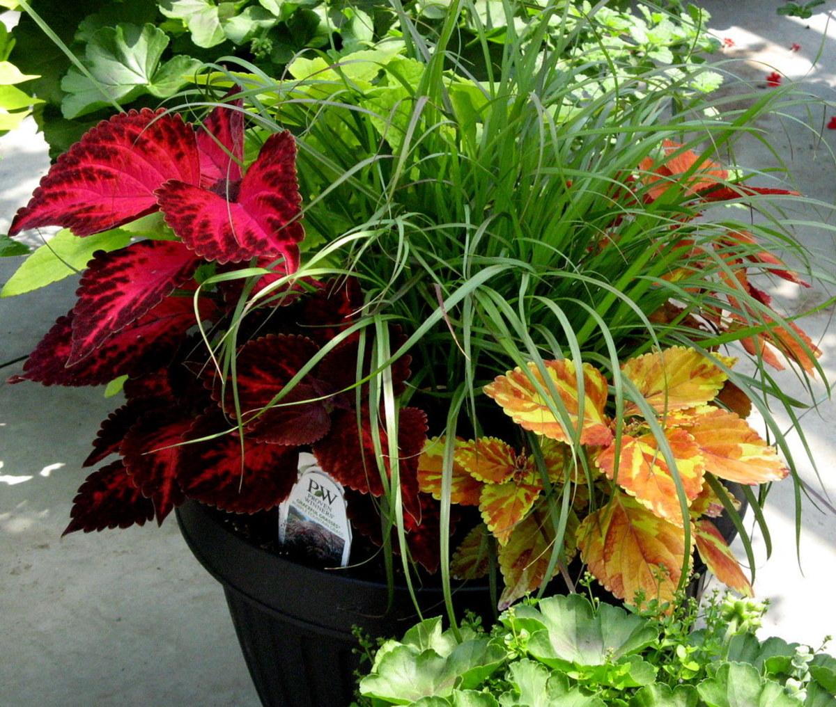 Coleus and ornamental grass.