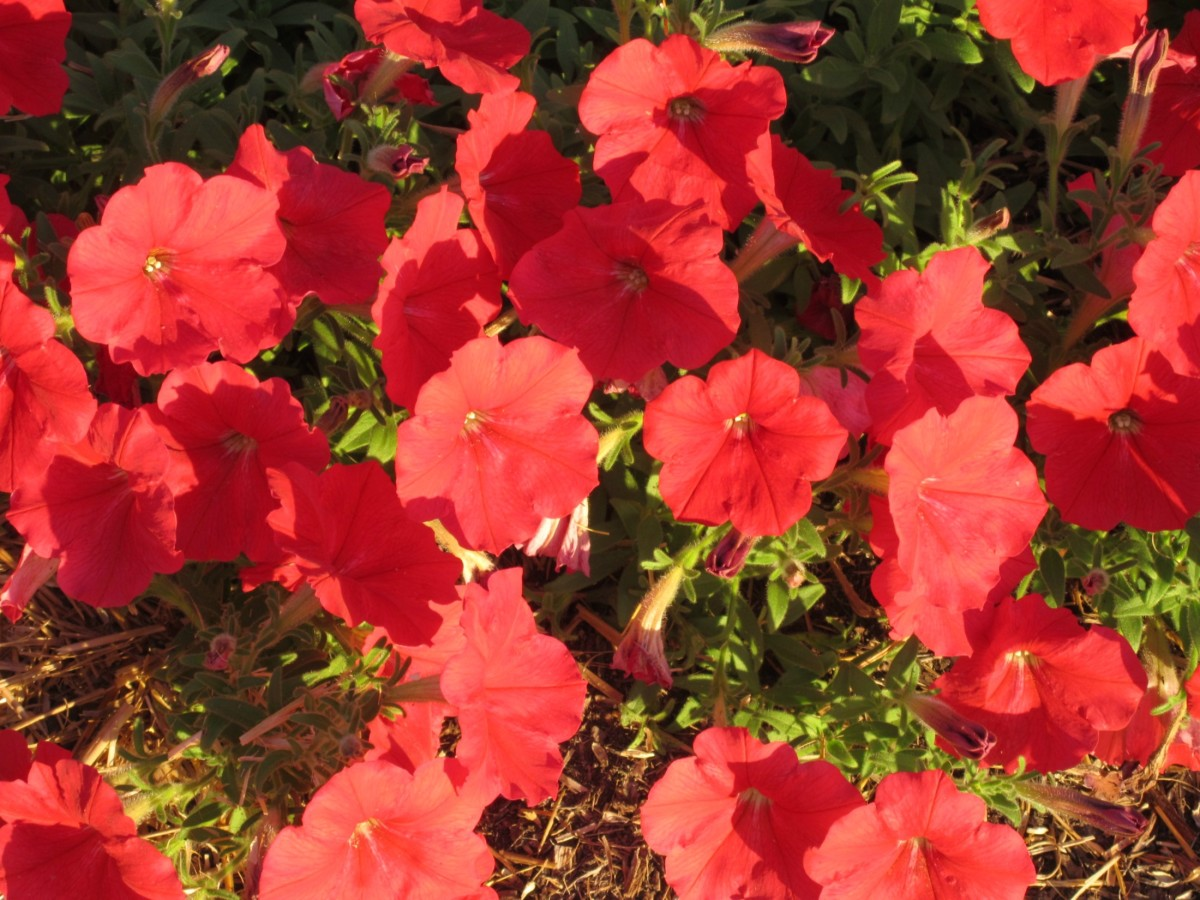 Lady in red petunia.