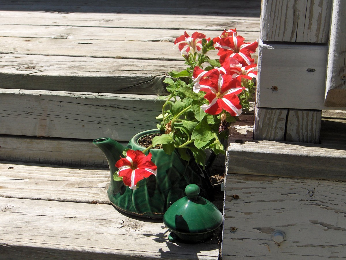 Candy Kane petunias in a pot