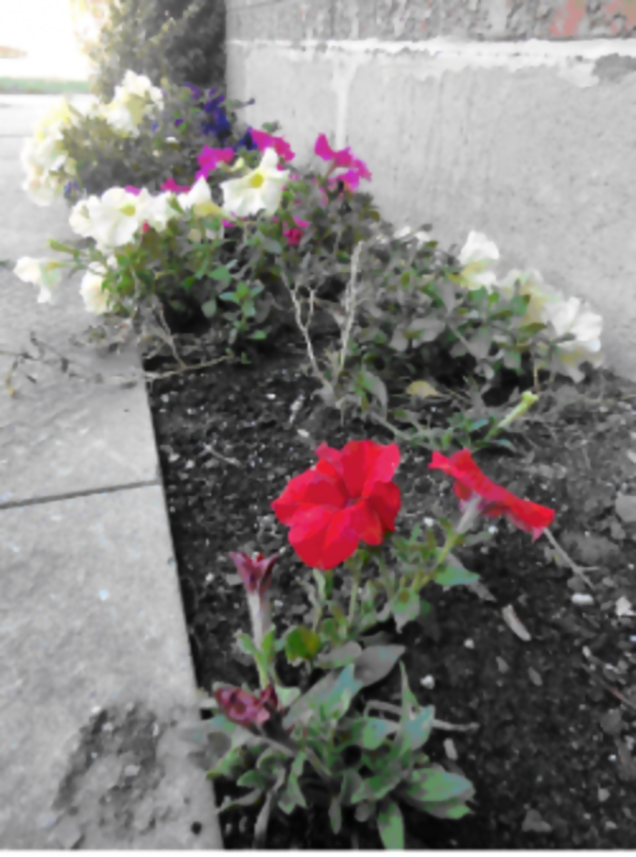 Flower garden neglect.The petunias in my garden that survived my neglect!