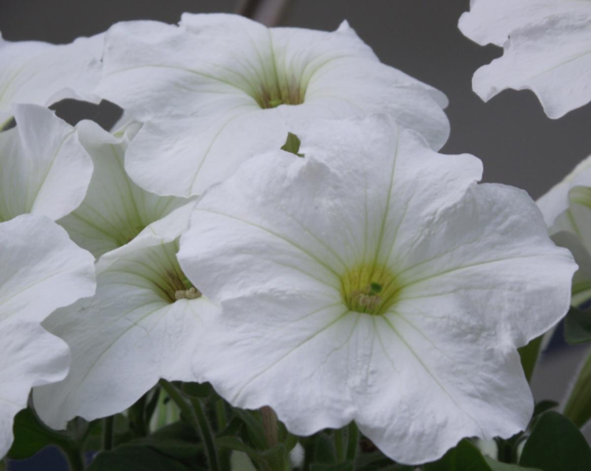 Wondrous White petunia.