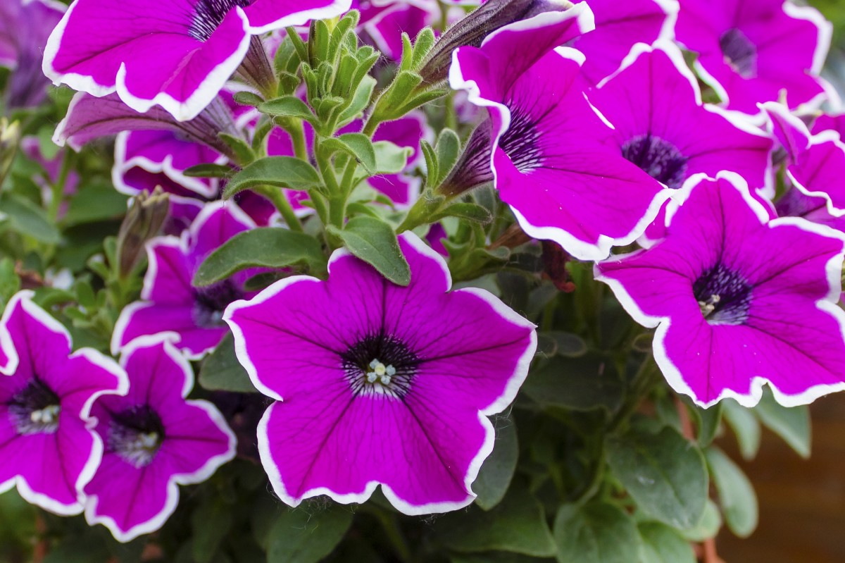 White rimmed purple petunia
