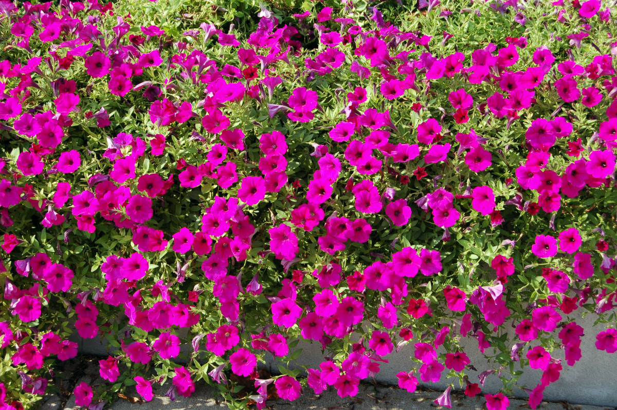 The gorgeous petunia a wave of color