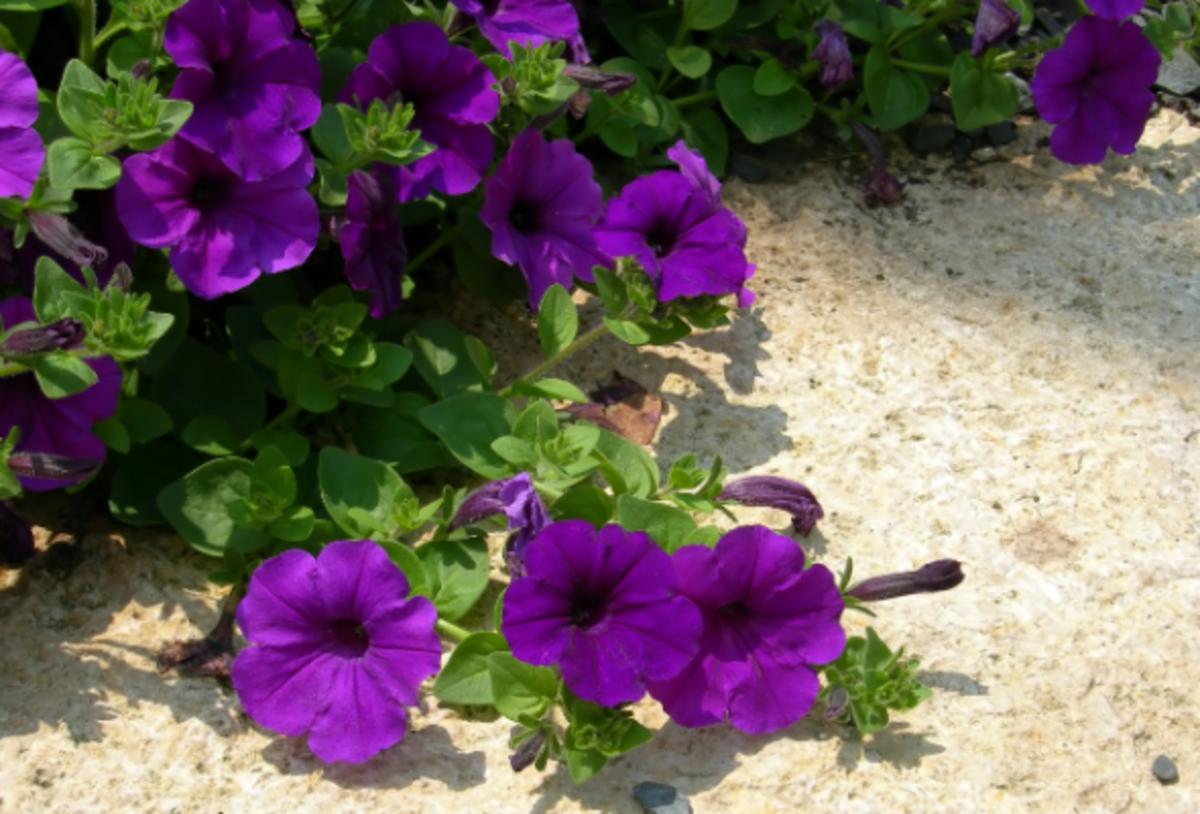 Deep Purple Petunia