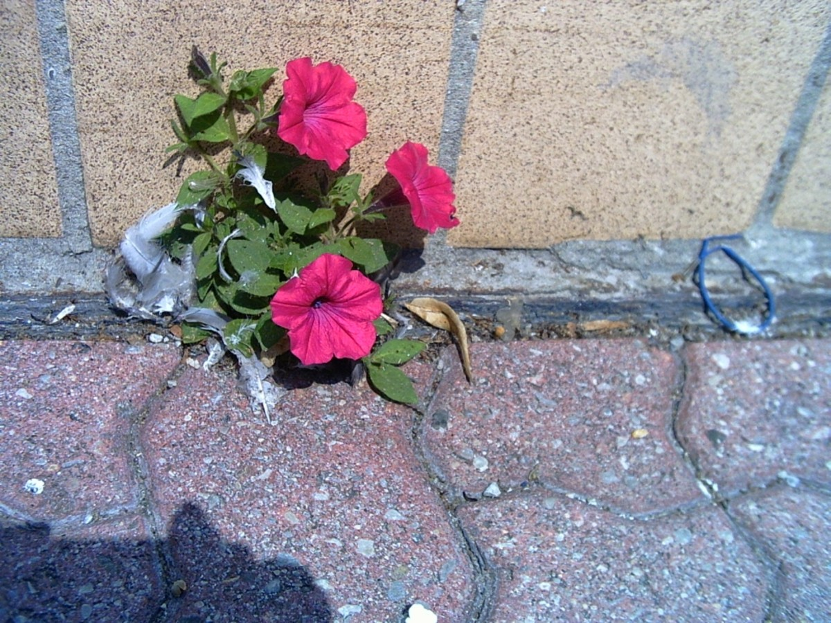 Petunias growing out of the pavement.