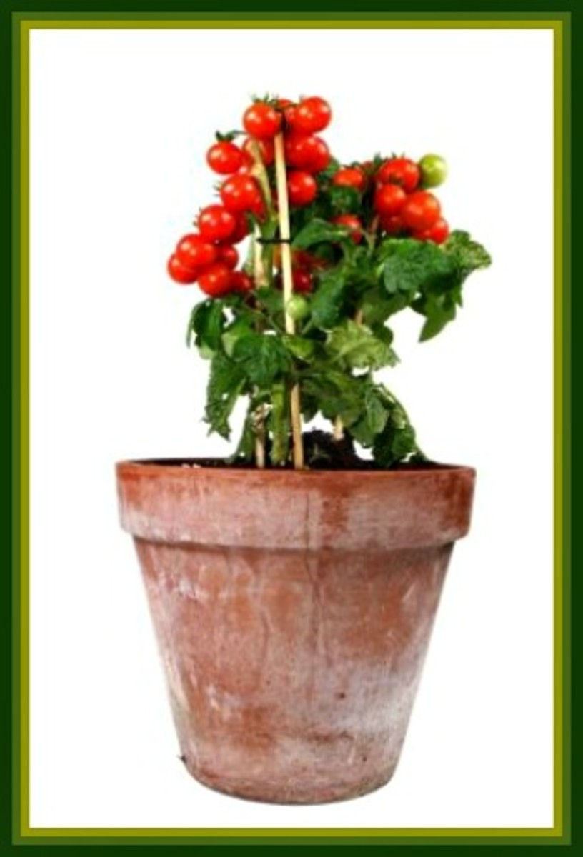 container-tomato-gardening