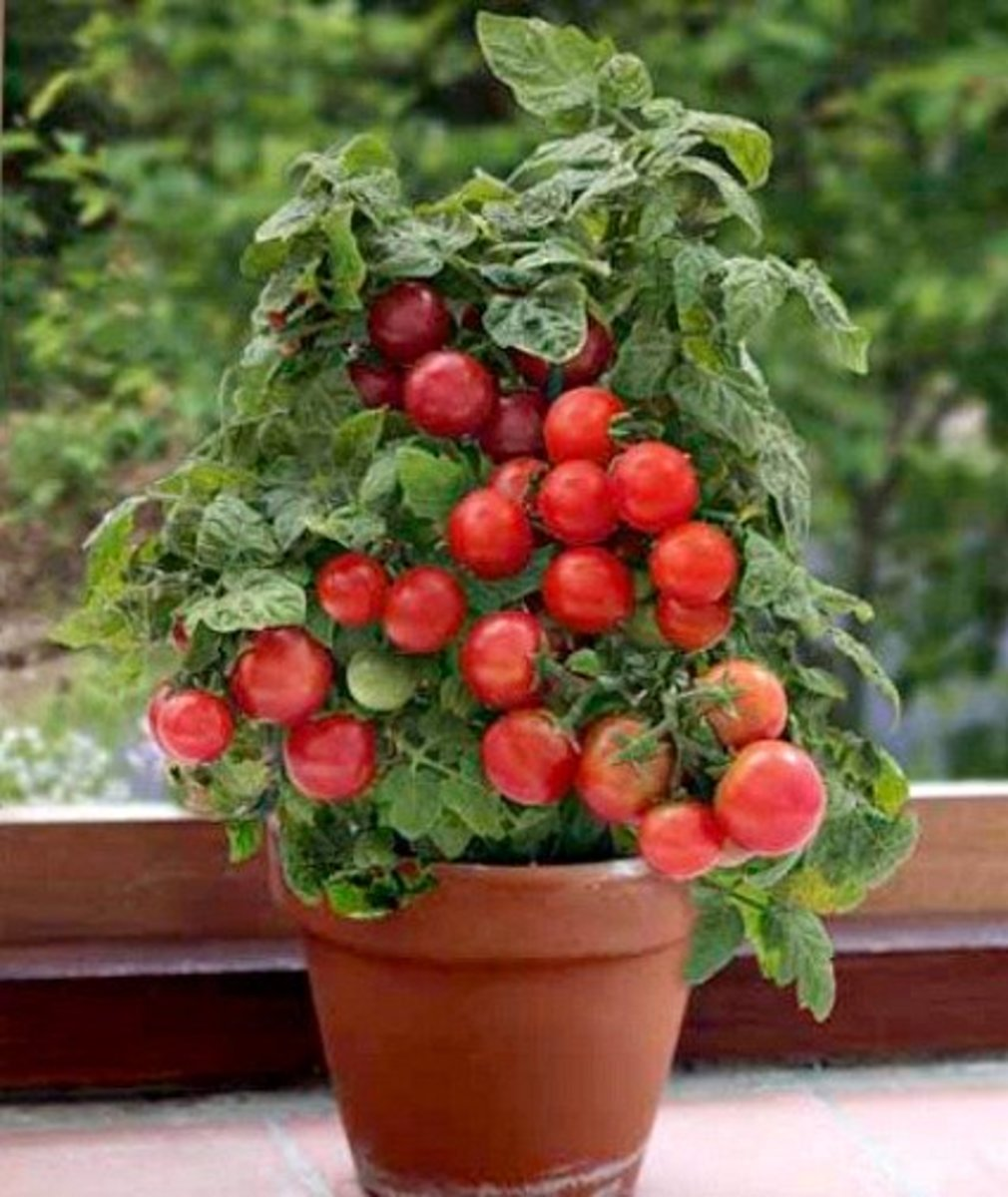 Container Patio Tomato