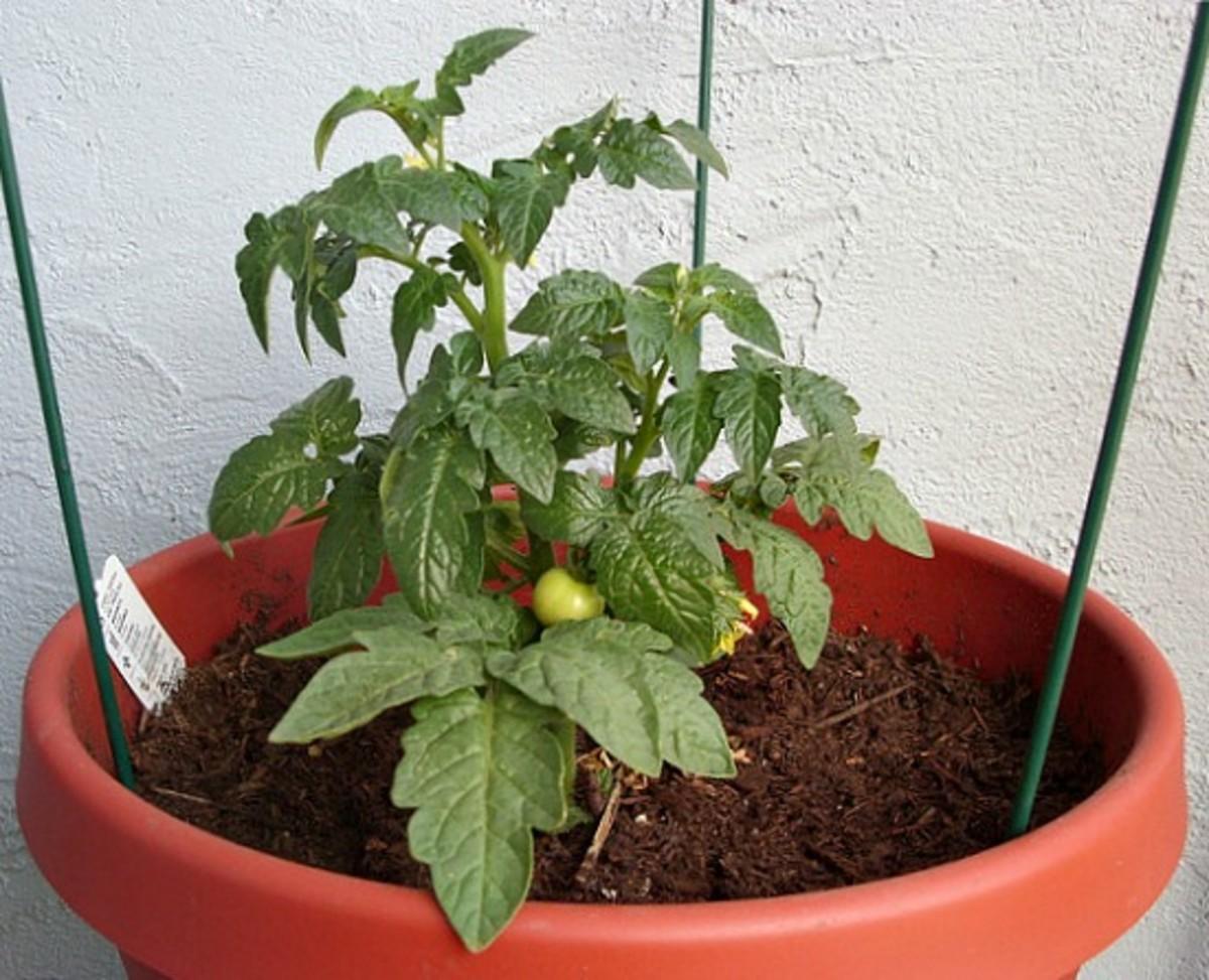 Repotted Tomato Plant for a Balcony Tomato Garden