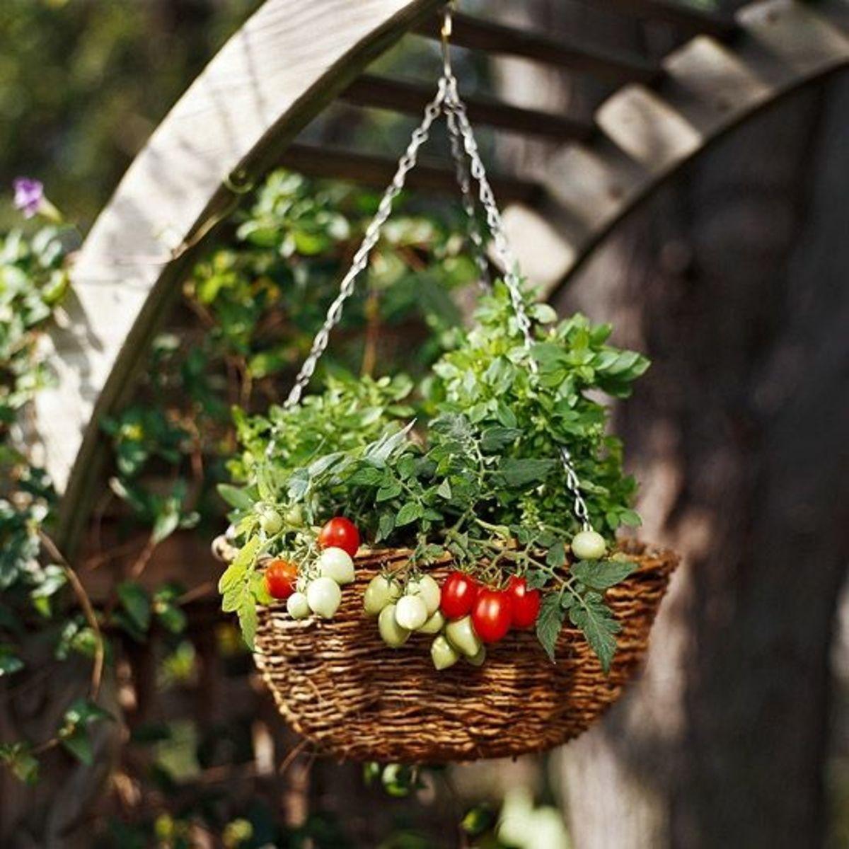 Growing a grape tomato basket.