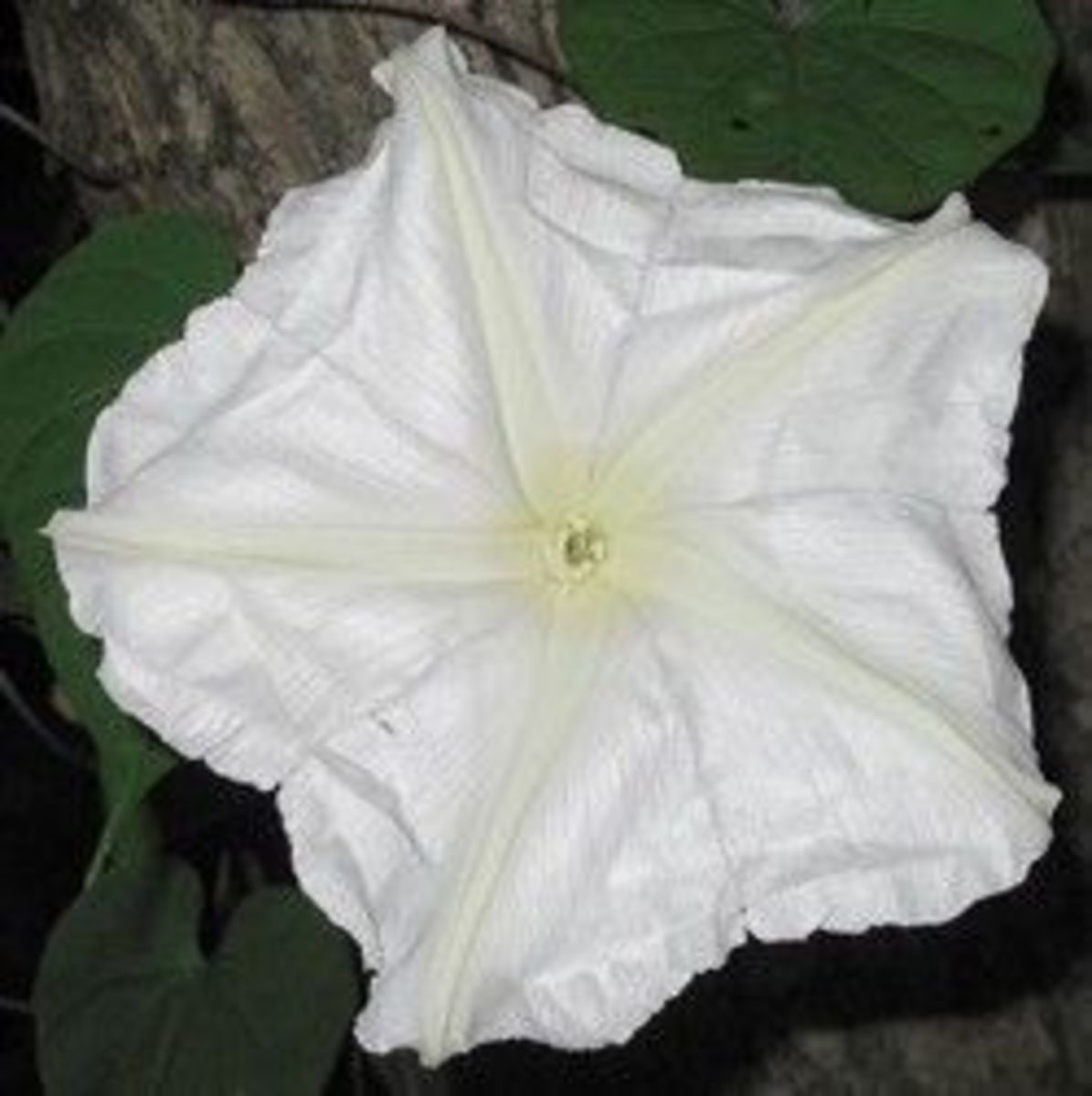 A moonflower, Ipomoea alba, photographed at night.