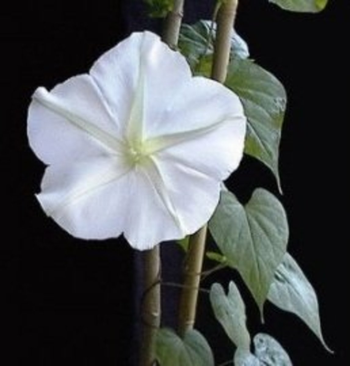 Moonflower twining round up a stick