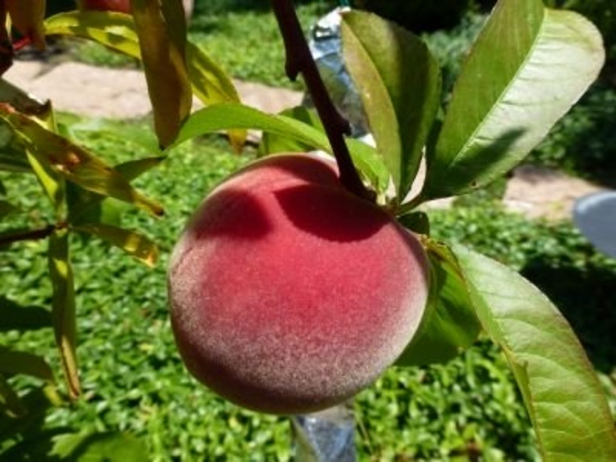 Babcock white peach has grown larger with a redder skin and may have to wait a few more weeks.