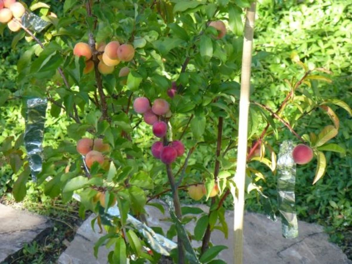 Plant a fruit salad four different fruits growing on the same tree dengarden - Fruit trees every type weather area ...