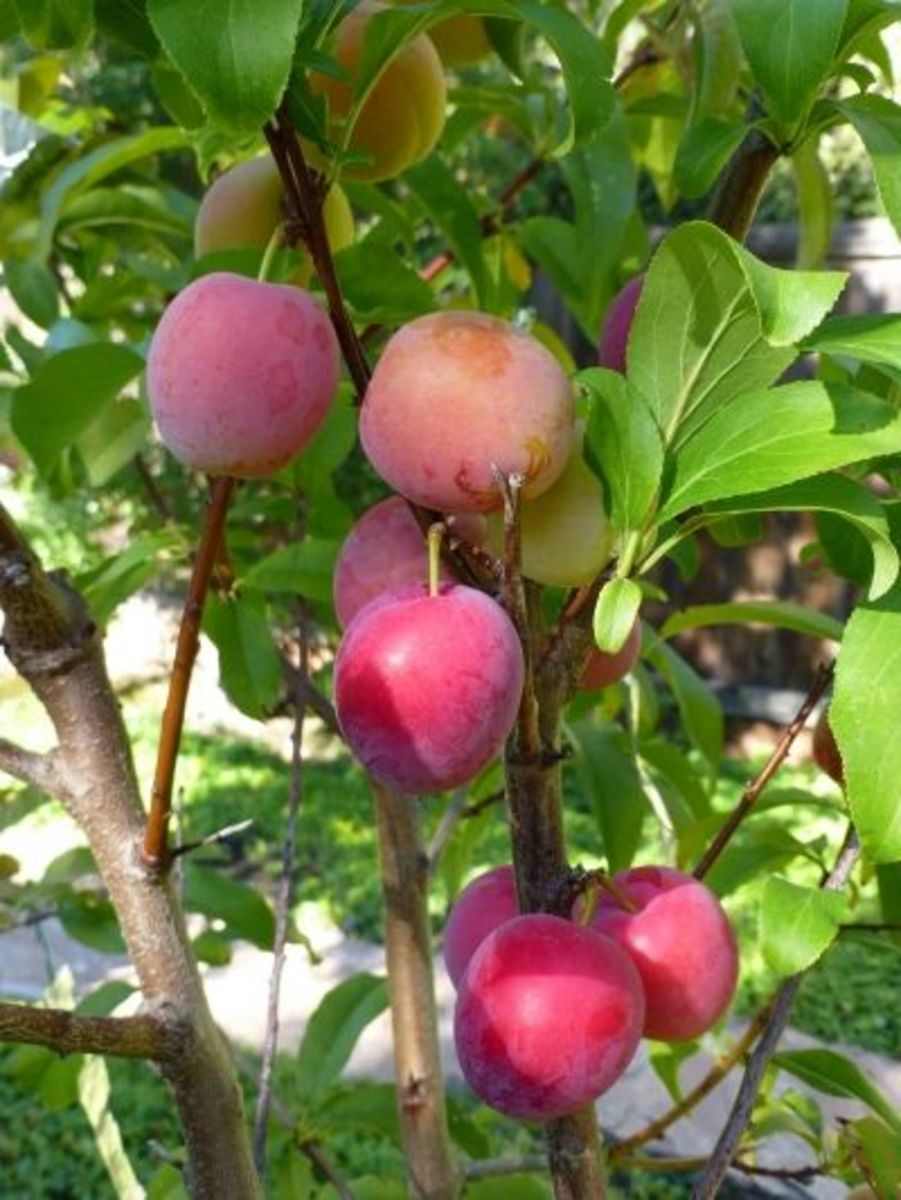 Santa Rosa plums showing their true color