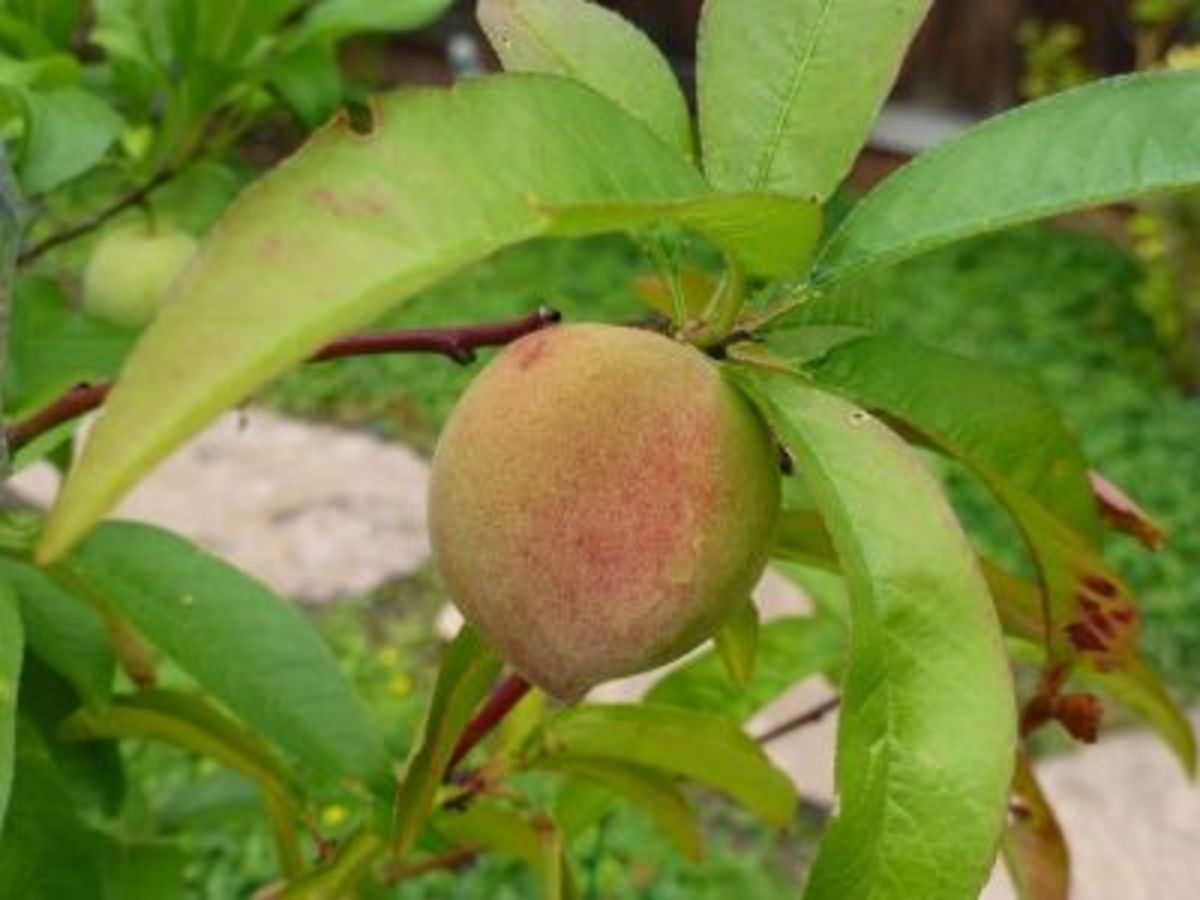 One of the five Babcock white peaches