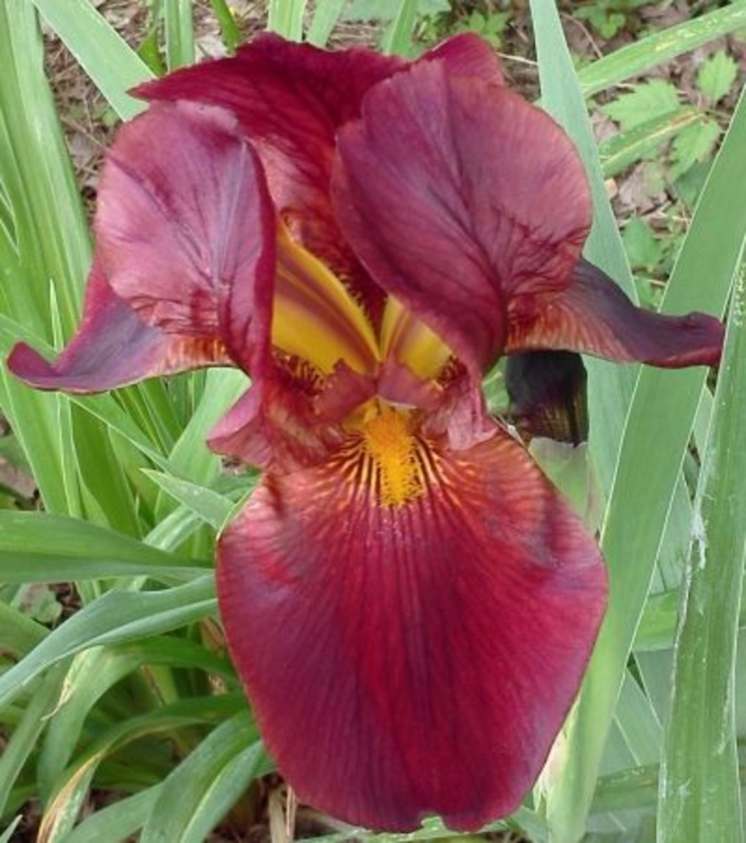 Maroon bearded iris.
