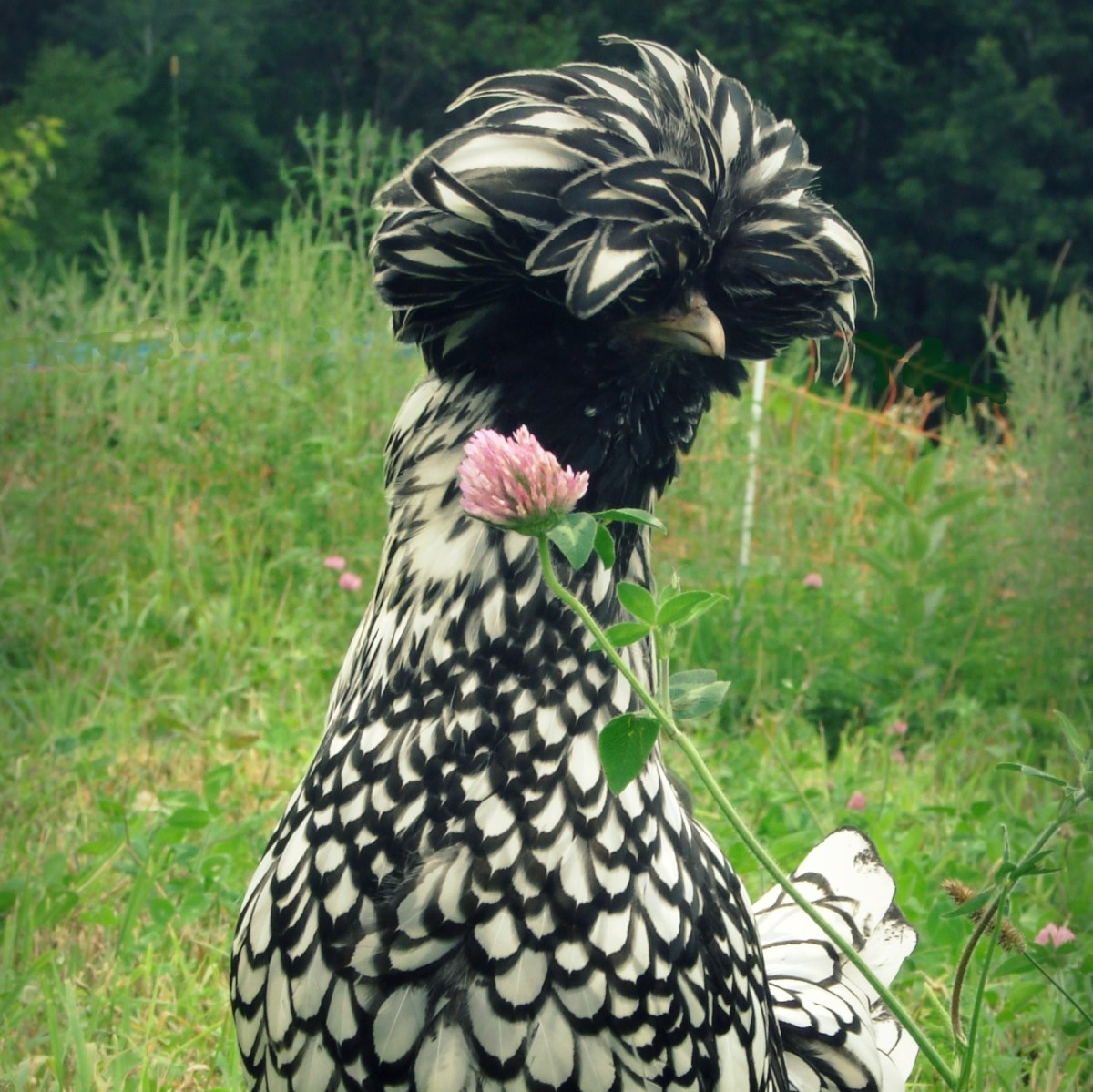 Information About Crested Polish Chickens
