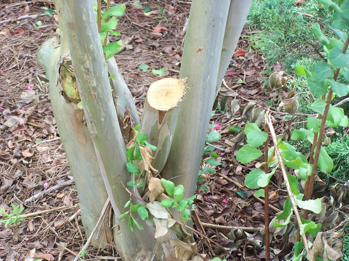 """Stumps that are this high sometimes die back and can compromise the health of the entire plant. If left like this, any new growth would be poorly attached to the stump. It would also produce unsightly """"knuckles."""" Remove stumps at ground level."""