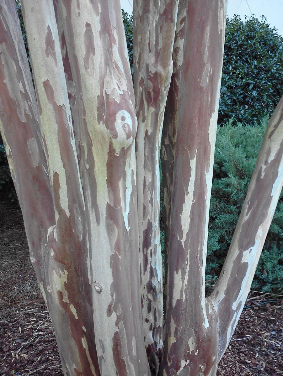 Lagerstroemia subcostata bark.