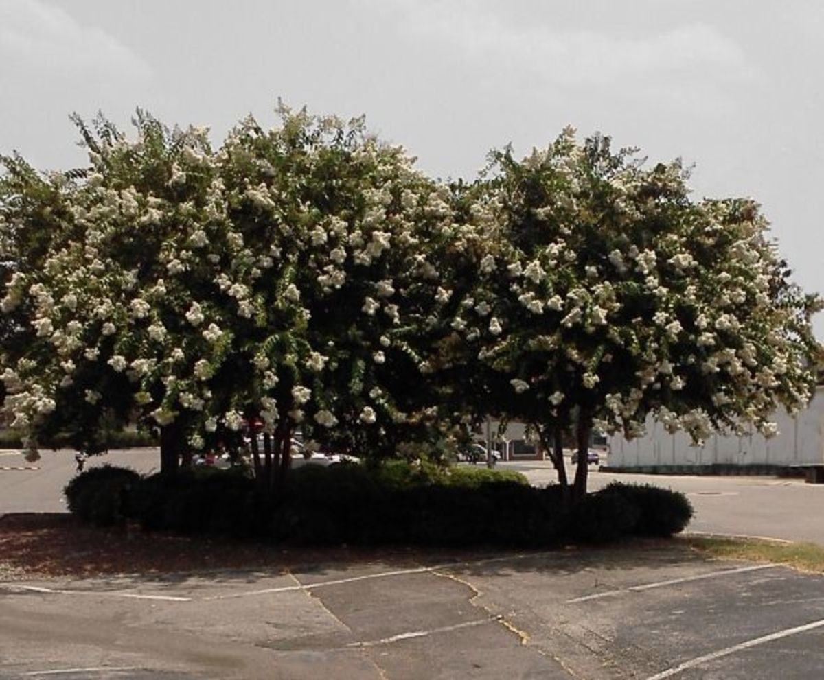Two Natchez crepe myrtles in full bloom. Note the lovely, broad canopy.