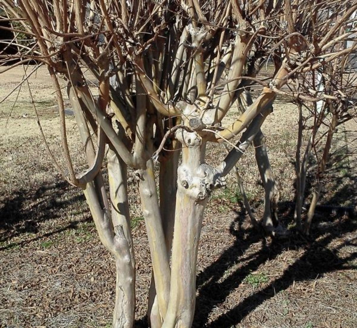 New growth on old stumps from improper pruning.