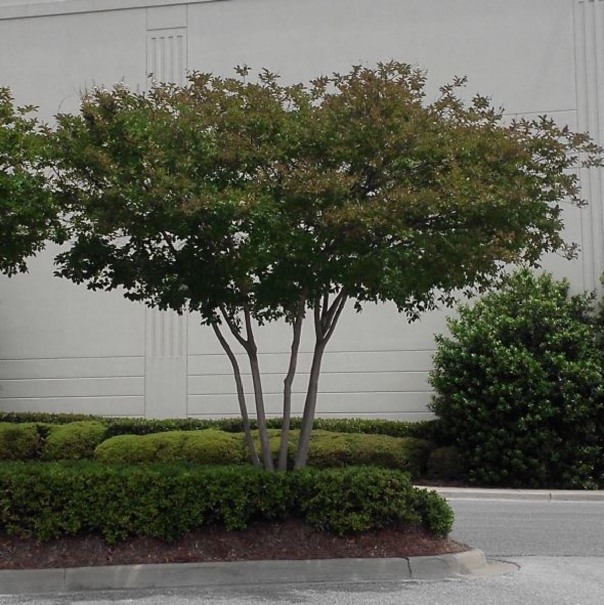 A graceful canopy of a non-butchered myrtle.