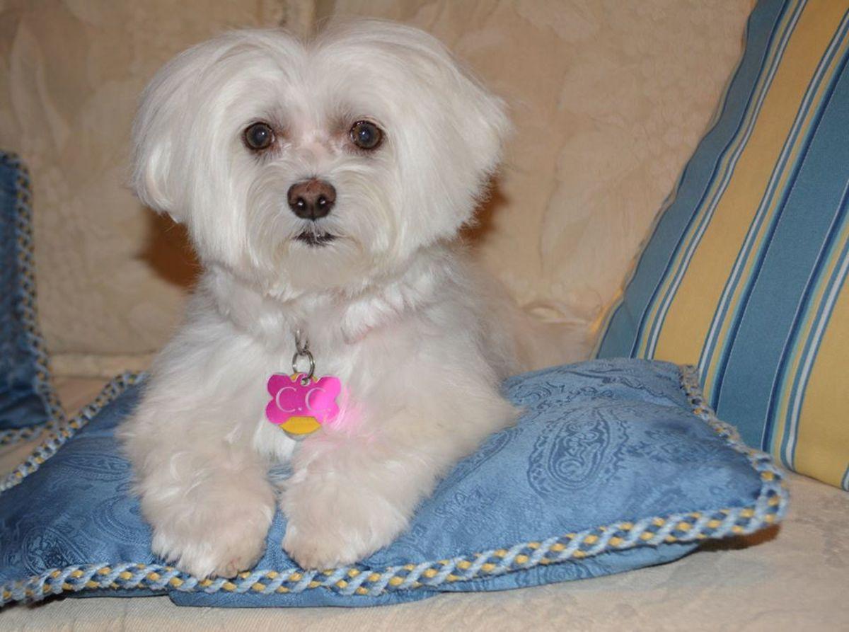 Dog Clean Routine, WHITE DOG, VINEGAR, Coton de tulear I ...