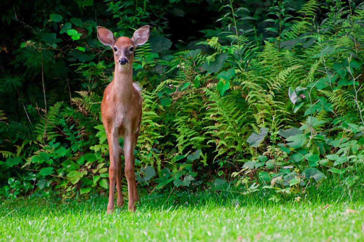 17 Deer-Resistant Perennials