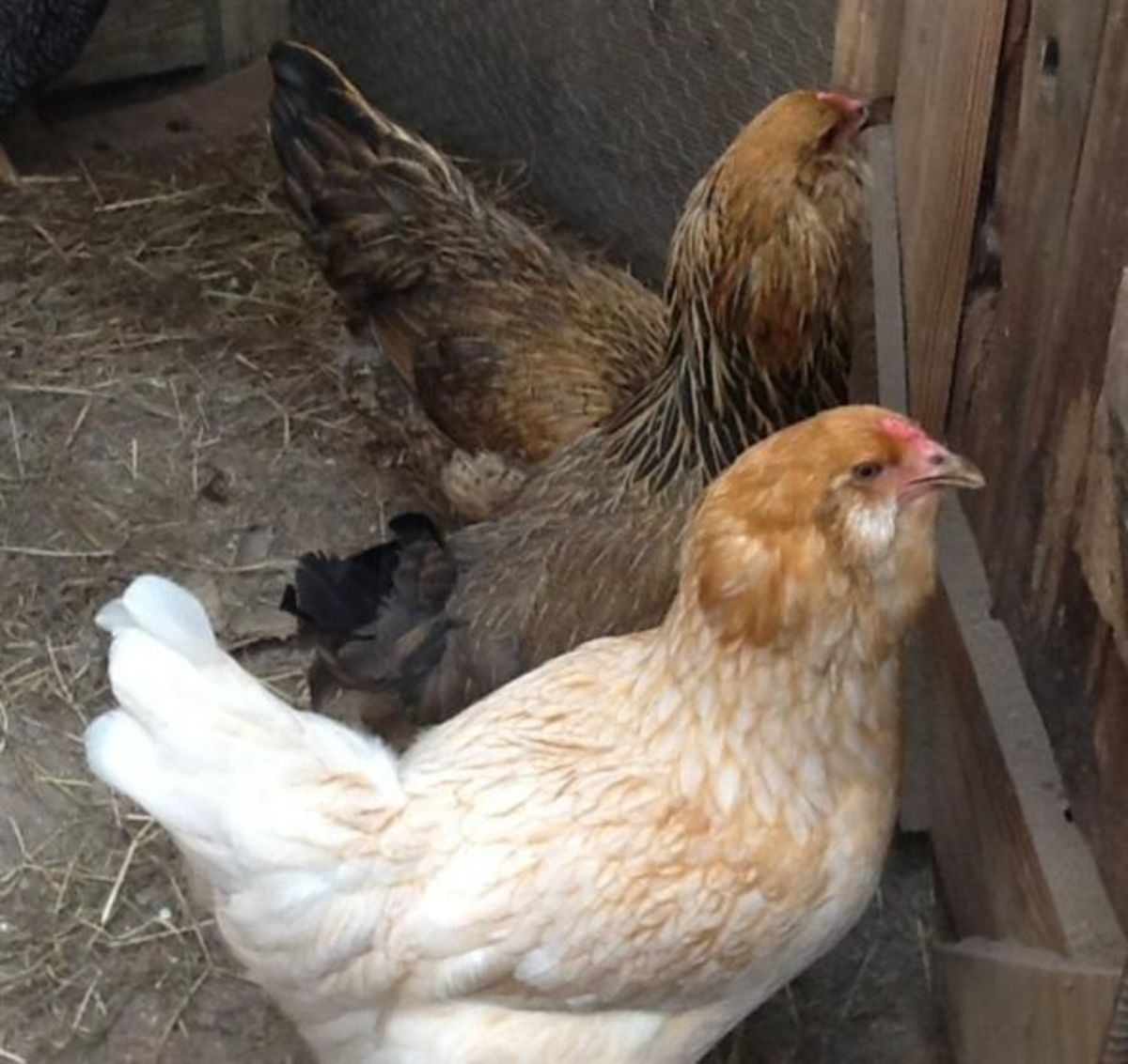 Ameraucana Pullets Inside the House