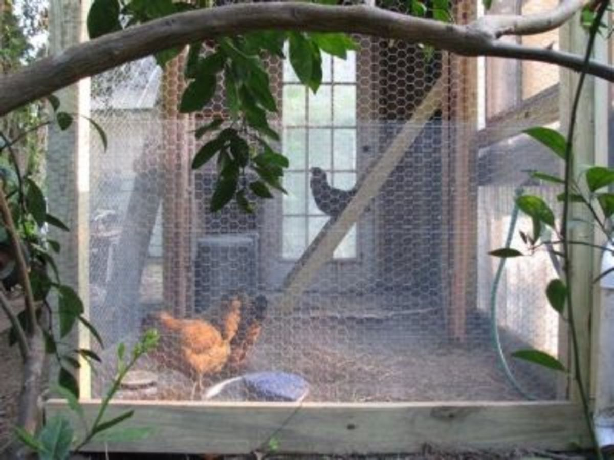 Ameraucana hens puttering around their coop.