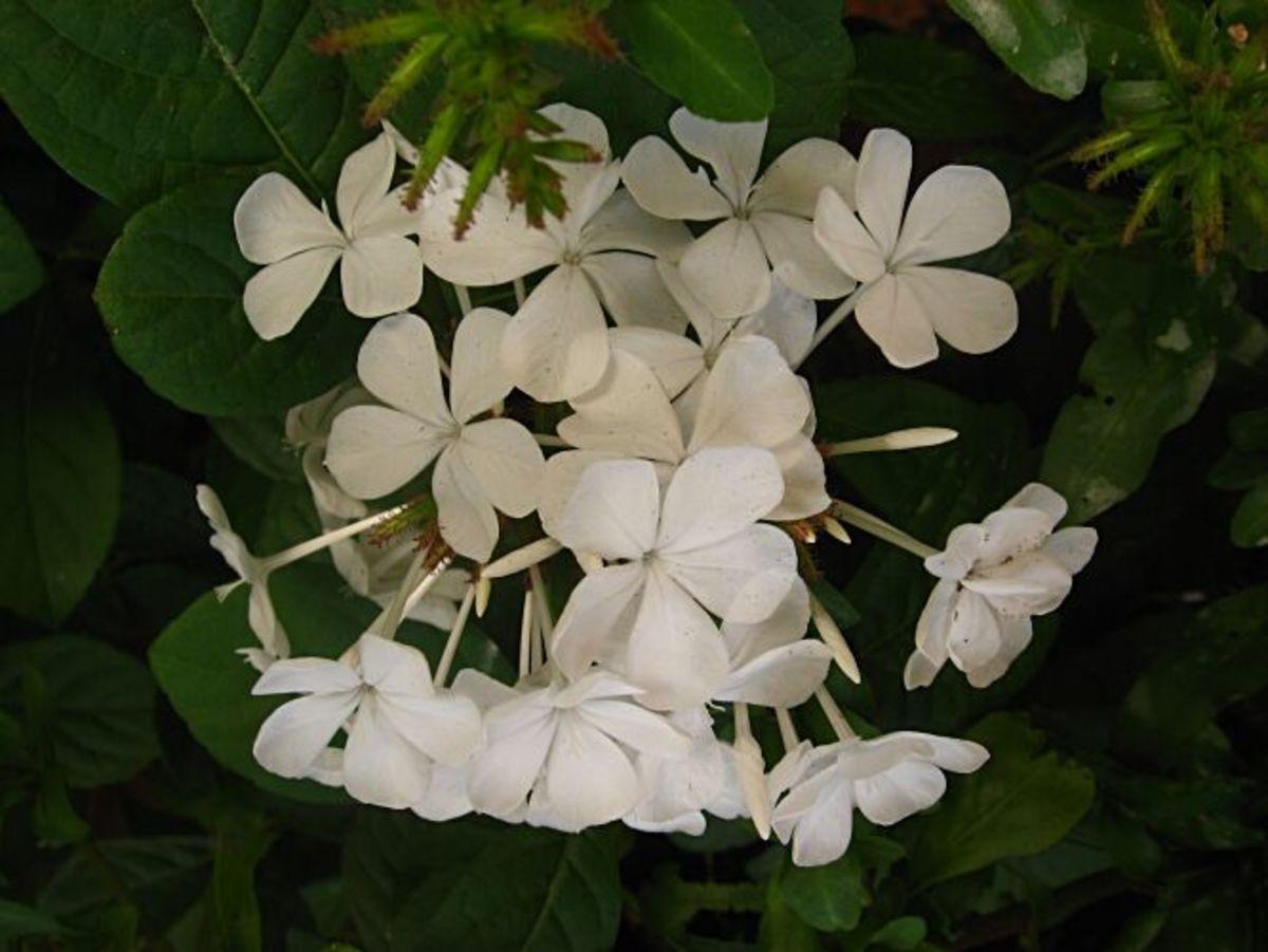 Plumbago auriculata var. alba